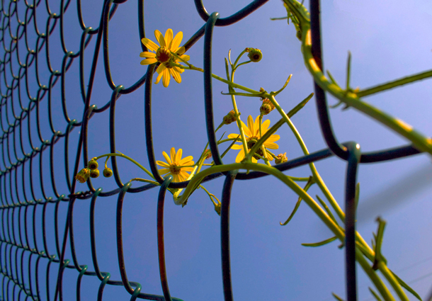 Plant with yellow flowers climbing on a chain link fence.